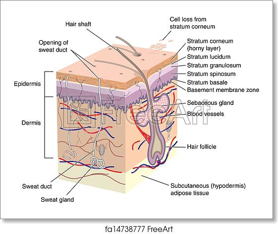 cross section of human skin with labels