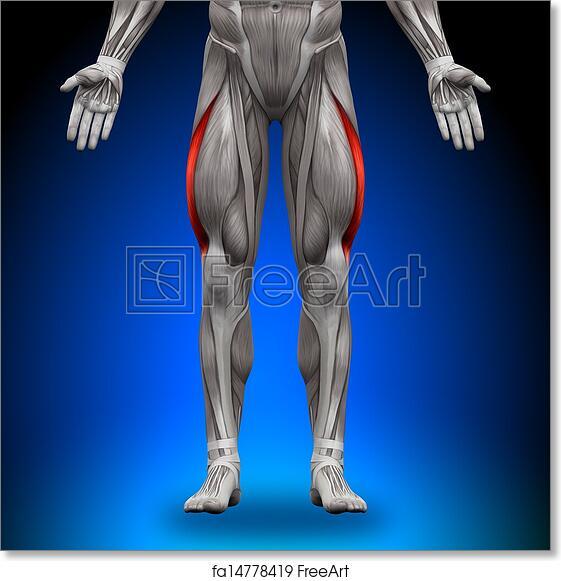 Free art print of Vastus Lateralis - Anatomy Muscles | FreeArt ...