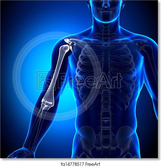 Free Art Print Of Humerus Arm Anatomy Anatomy Bon Humerus Arm