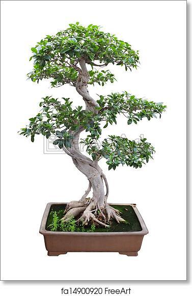 Free Art Print Of Bonsai Banyan Tree Bonsai Banyan Tree With White Background Freeart Fa14900920