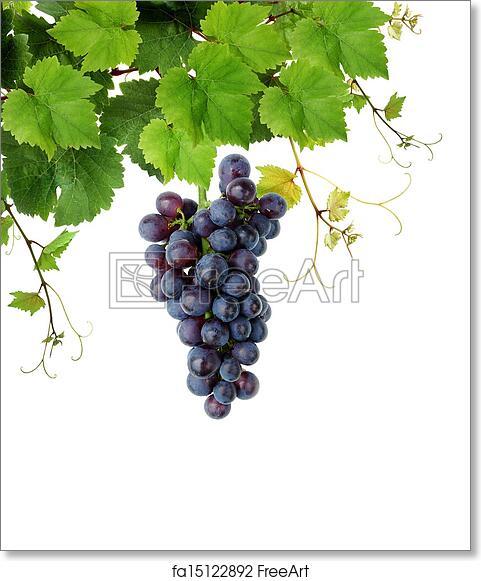 Free Art Print Of Blue Grape And Grapevine