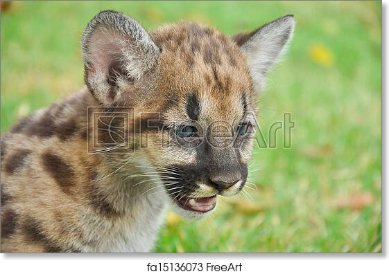 d15f8f22f42e Free art print of Baby Puma. Baby Puma and kitten are very similar. But baby  puma is a point along body and will fade as it grow up.