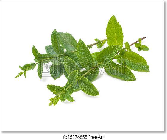 505c3e7974cc Free art print of Fresh mint leaves. Fresh mint leaves on a white ...