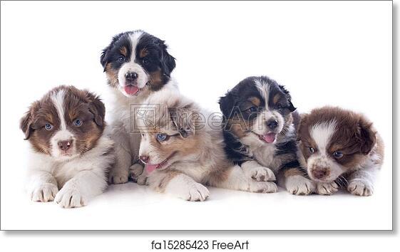 Free art print of Puppies australian shepherd