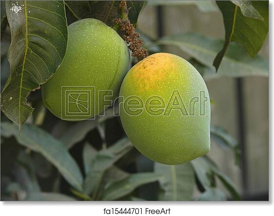 Pictures Of Alphonso Mango