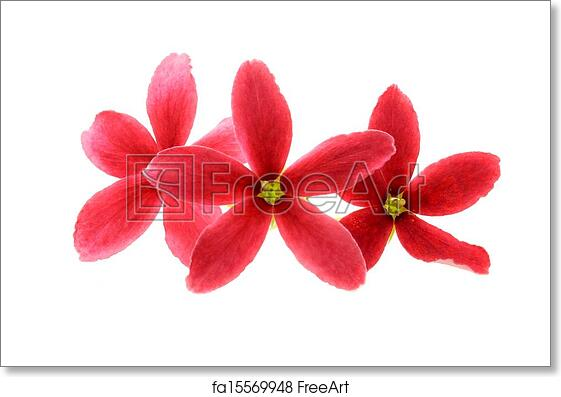 Free art print of three red flower of rangoon creeper on white free art print of three red flower of rangoon creeper on white background freeart fa15569948 mightylinksfo