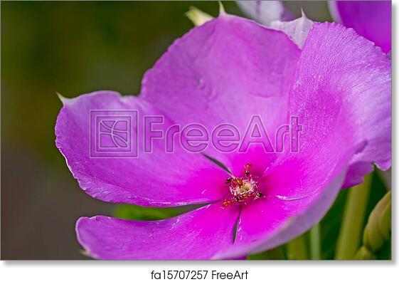 Free art print of catharanthus roseus nayantara madagascar free art print of catharanthus roseus nayantara madagascar periwinkle flower pink ants close up mightylinksfo