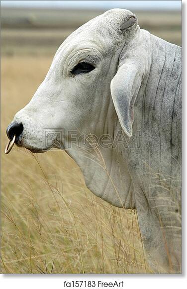 Free Art Print Of Brahman Bull Brahman Bull With Nose Ring