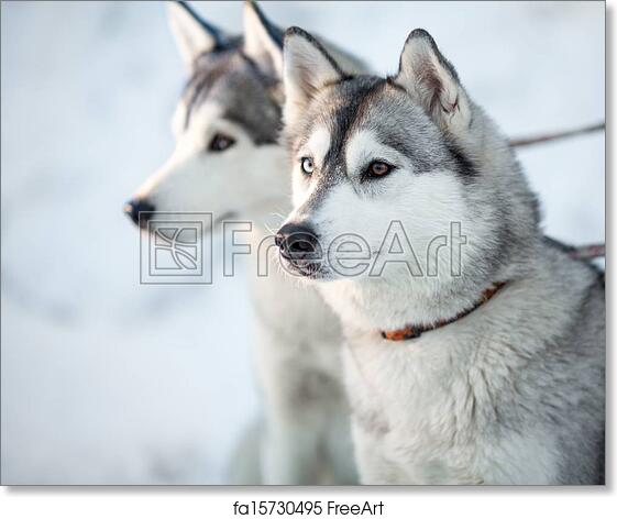 Free Art Print Of Two Siberian Husky Dogs Closeup Portrait Freeart