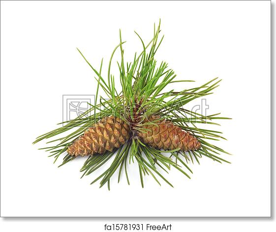 38fc296b31d6 Free art print of Branch of Christmas tree and pine cones on white isolated  background