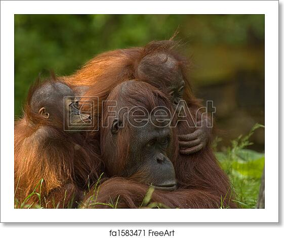 Free Art Print Of Mother Orangutan With Her Cute Babies Freeart