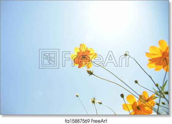 Free art print of yellow cosmos flower with sunshine4 freeart free art print of yellow cosmos flower with sunshine4 mightylinksfo