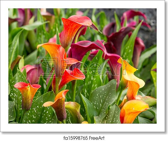 Free Art Print Of Calla Lily Field Freeart Fa15998765