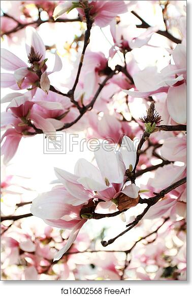 Free Art Print Of Magnolia Tree Spring Blossoms Of A Magnolia Tree