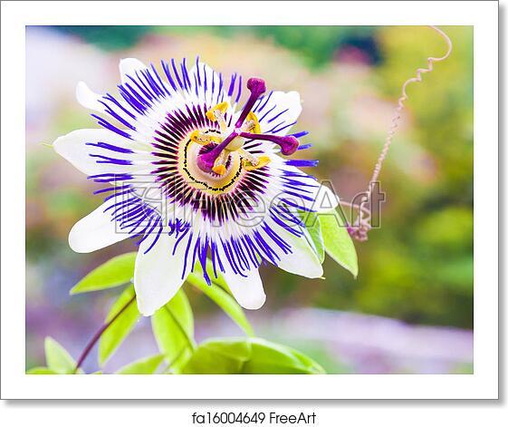 Free Art Print Of Passiflora Or Passion Flower Passiflora Known