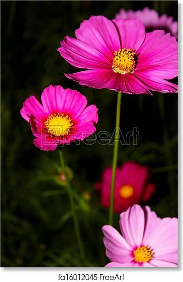 Free art print of cosmos flower cosmos are herbaceous perennial free art print of cosmos flower mightylinksfo