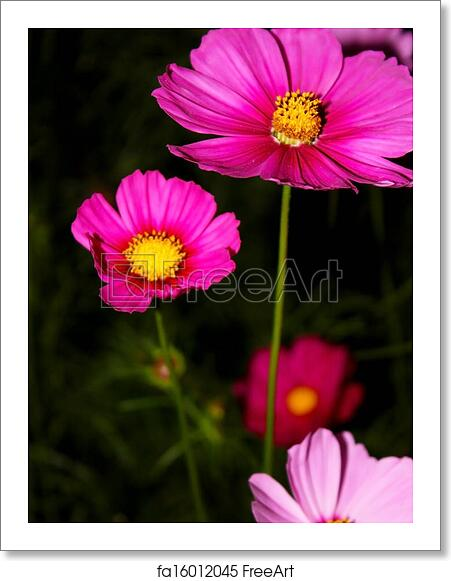 Free Art Print Of Cosmos Flower Cosmos Are Herbaceous Perennial