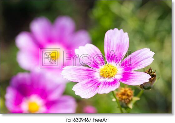 Free Art Print Of Vivid Pink Cosmos Flower This Photo Is Taken In