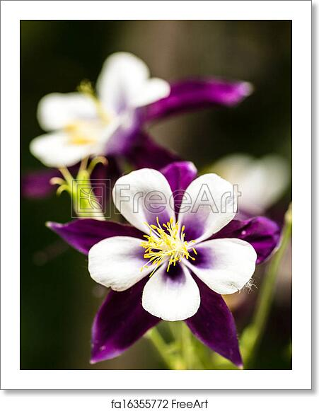 Free Art Print Of Purple Columbine Purple Columbine Flowers