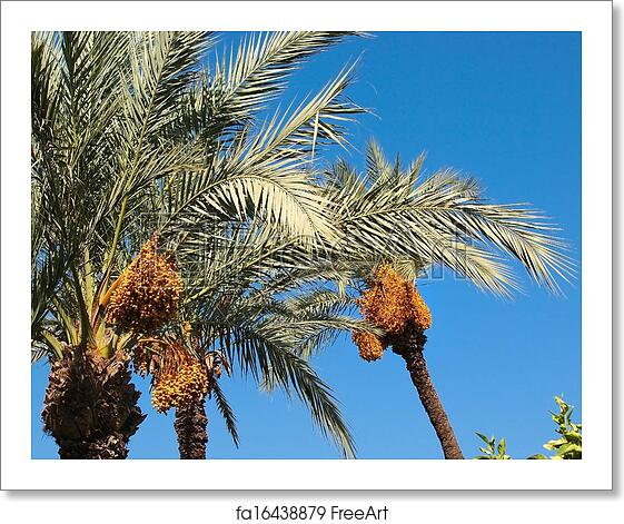 Free Art Print Of Date Palm Tree Bunch Of Colourful Dates On The
