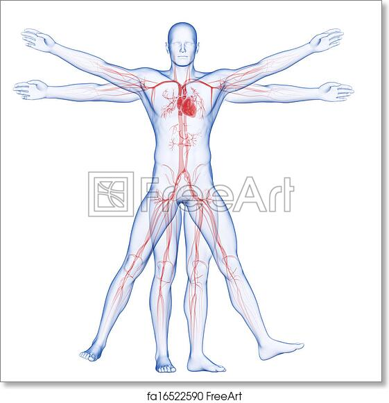 Free art print of Vitruvian man - vascular system. 3d rendered ...