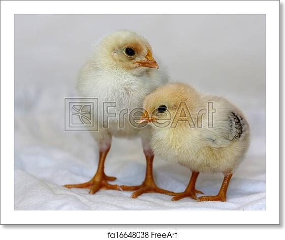 Free Art Print Of Baby Chickens Two Small Yellow Baby Chickens With
