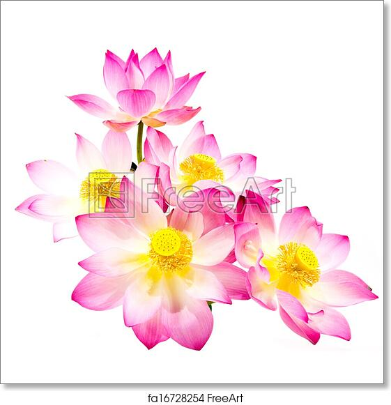 Free Art Print Of Blooming Lotus Flower On Isolate White Background