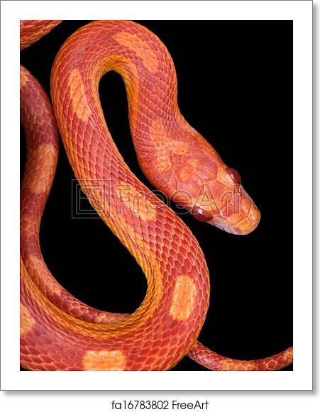 Free art print of Amel motley corn snake isolated on black background