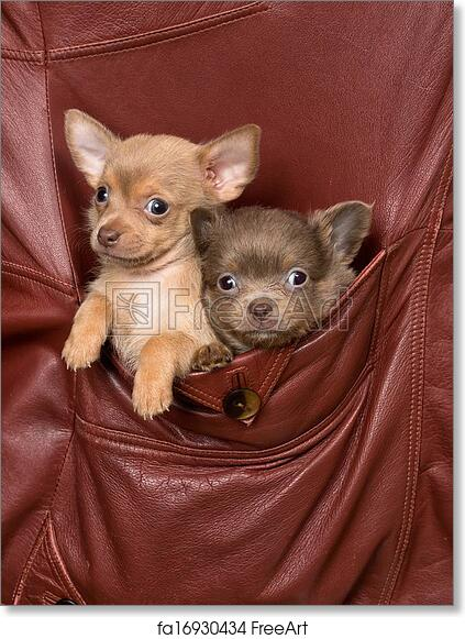 Free Art Print Of Dogs In A Jacket Pocket Two Adorable Chihuahua
