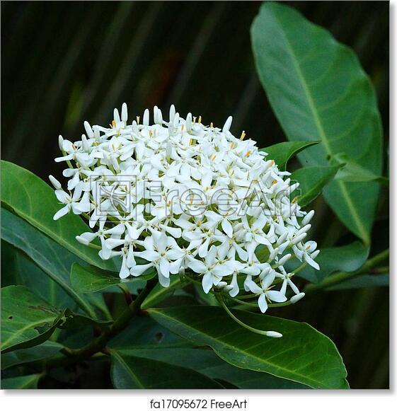 Free art print of Very fragrant white flowers name Siamese white ...