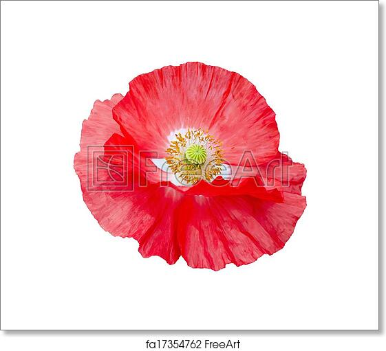 Free art print of poppy red with white center and yellow stamens free art print of poppy red with white center and yellow stamens mightylinksfo