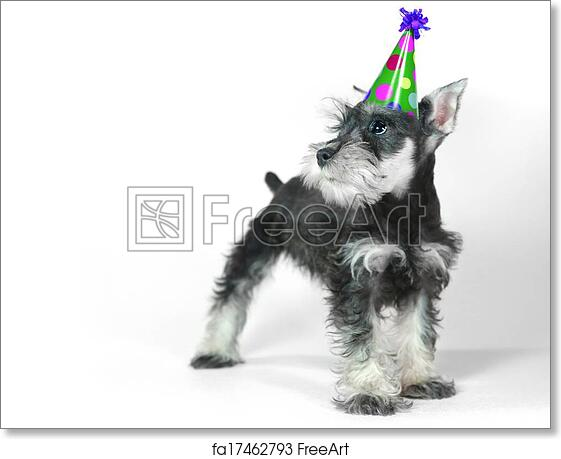 Free Art Print Of Birthday Hat Wearing Miniature Schnauzer Puppy Dog On White Celebrating Baby