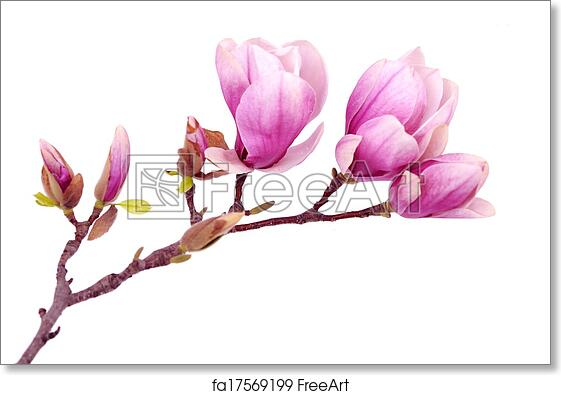 Free Art Print Of Magnolia Flower Magnolia Flower Branch Isolated