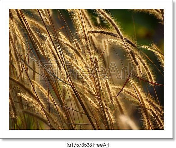 Free art print of Foxtail weed grass flowers in nature golden light  background