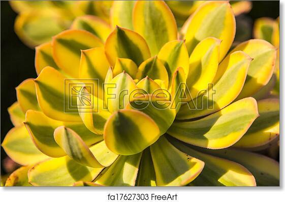 Sempervium Calcareum Succulent Plant Art Print Home Decor Wall Art Poster C
