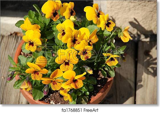 Free Art Print Of Yellow Pansy Pot Yellow Pansies Closeup Of