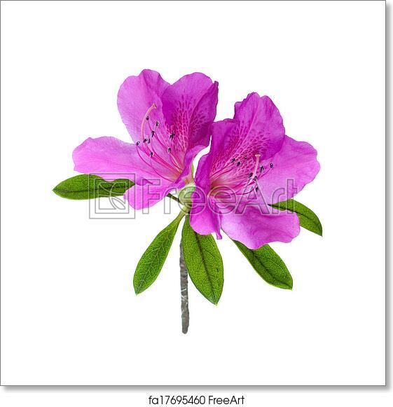 Free art print of azalea flower isolated on white freeart fa17695460 free art print of azalea flower isolated on white mightylinksfo