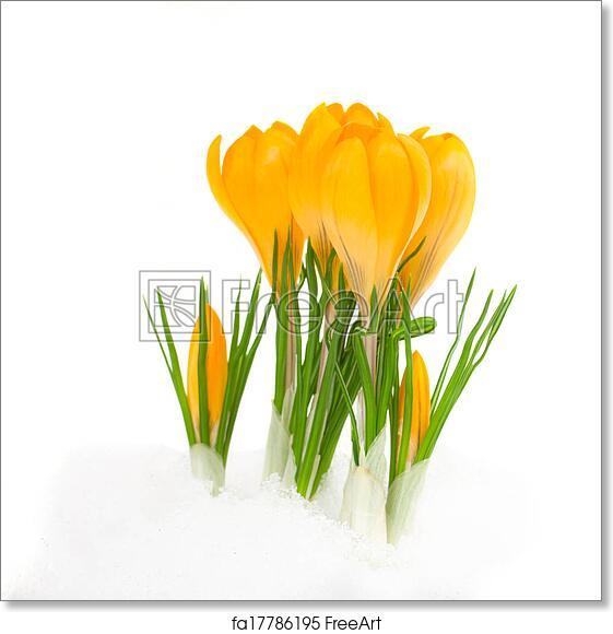 Free art print of yellow crocus flowers yellow spring crocus flower free art print of yellow crocus flowers mightylinksfo