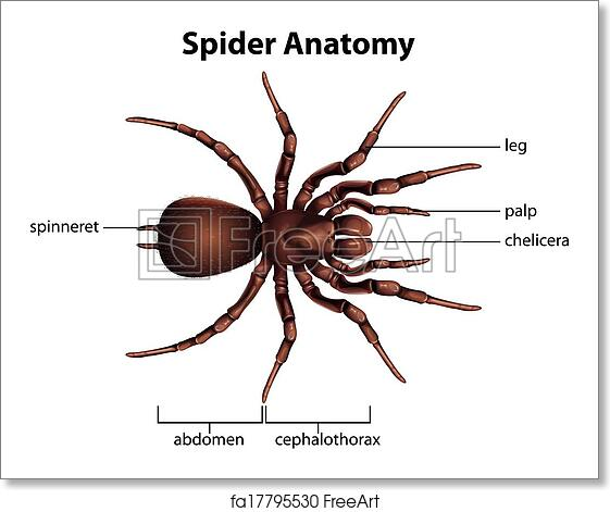 Free art print of Anatomy of a spider. Illustration showing the ...