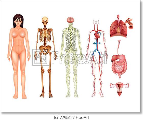 Free Art Print Of Human Body Systems Illustration Of Various Human