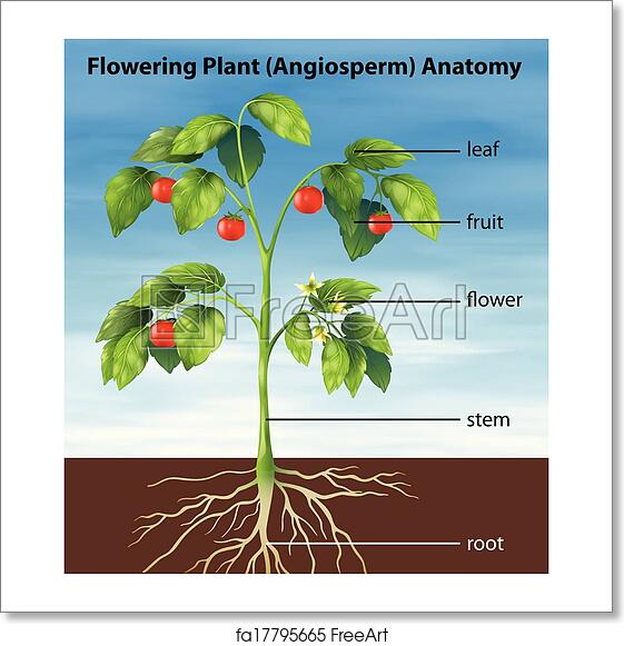 Free art print of Parts of a tomato plant. Illustration ...