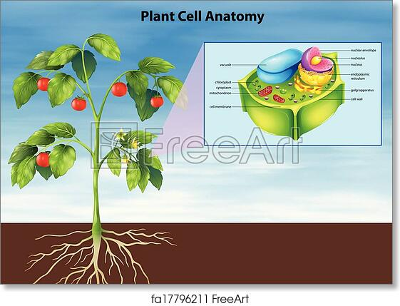 Free Art Print Of Anatomy Of The Plant Cell Illustration Of The