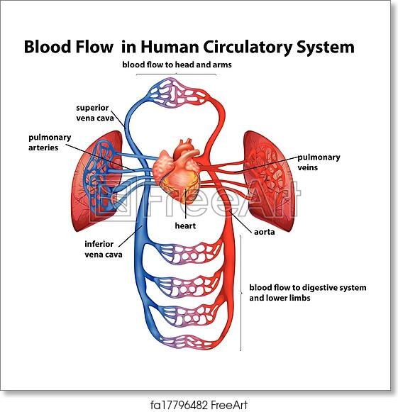 Free Art Print Of Blood Flow In Human Circulatory System