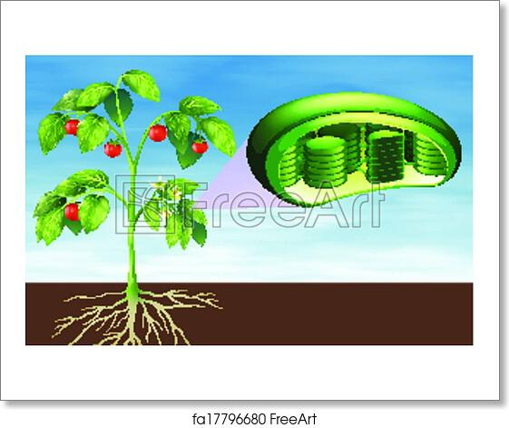Free art print of Plant cell anatomy. Illustration of the plant cell ...