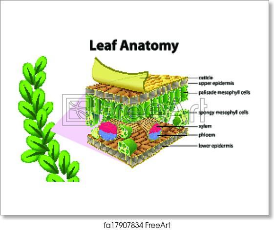 Free art print of Leaf anatomy. Illustration of a leaf anatomy on a ...
