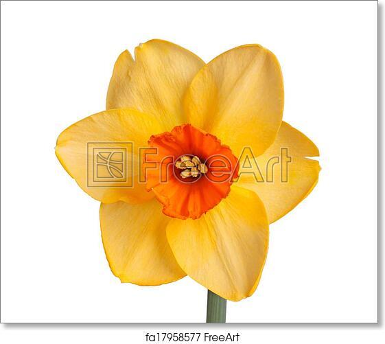 Free Art Print Of Single Flower Of A Daffodil Cultivar Against A