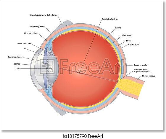 Free Art Print Of Structures Of The Human Eye Labeled
