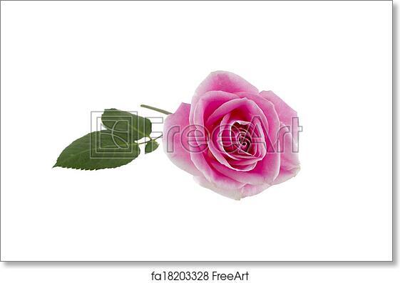 free art print of single pink rose on white long stem pink rose