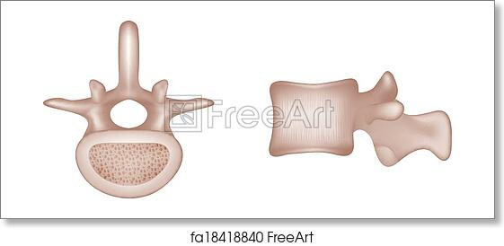 Free art print of Human vertebral bones. Human spine vertebral bones ...