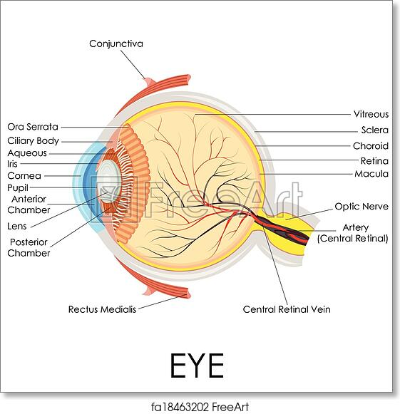 Free Art Print Of Human Eye Anatomy Vector Illustration Of Diagram
